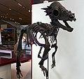 Pachycephalosaurus wyomingensis ROM.jpg