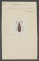 Pachylocerus - Print - Iconographia Zoologica - Special Collections University of Amsterdam - UBAINV0274 033 16 0002.tif