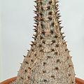 Pachypodium baronii-IMG 3435.jpg