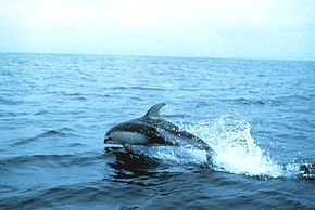 Pacific white side dolphin.jpg