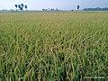 Paddy field 10.jpg
