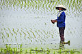 Paddy field in Vietnam with farmer.jpg