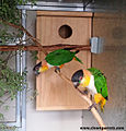 Pair of caiques at nestbox.jpg
