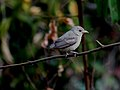 Pale-billed flowerpecker IMG 2513.jpg