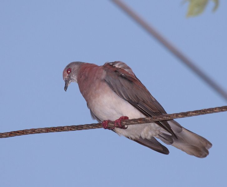 File:Pale-vented Pigeon (Patagioenas cayennensis) (4089364533) (cropped).jpg