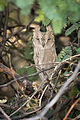 Pallid Scops Owl.jpg