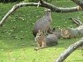 Pampashasen (Zoo Dresden).jpg