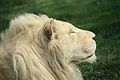 Panthera leo at the Philadelphia Zoo 003.jpg