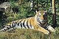 Panthera tigris altaica - Pries.jpg