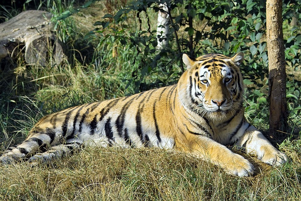 Panthera tigris altaica - Pries