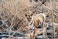 Panthera tigris tigris wild pench.jpg
