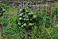 Papaias,em Porto Moniz,Madeira.JPG