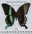PapilioBlumeiMUpUnAC1.jpg