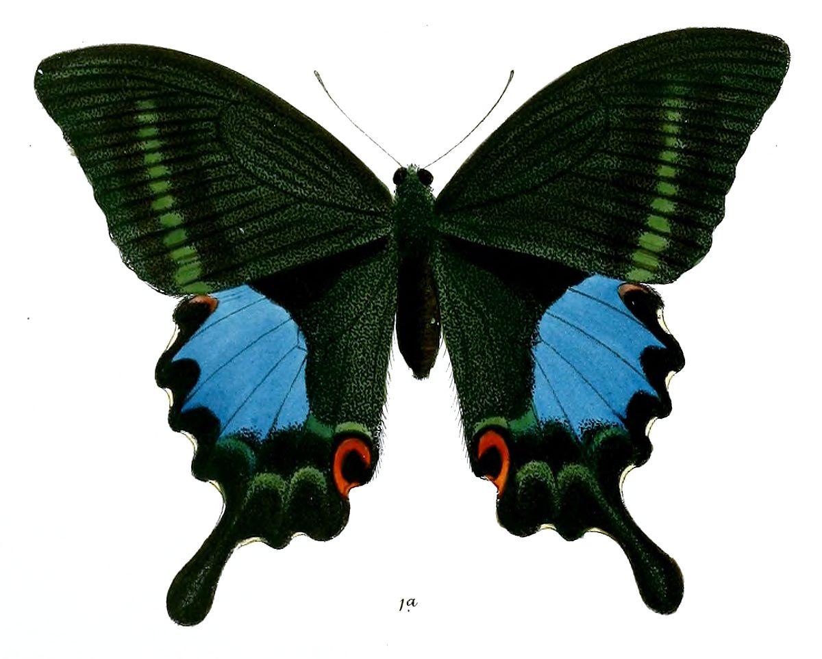 Papilio paris tamilana - Wikipedia