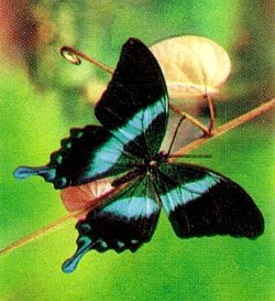 Papilio blumei 1993 Indonesia stamp crop.jpg