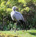 Paradieskranich Anthropoides paradisea Tierpark Hellabrunn-13.jpg