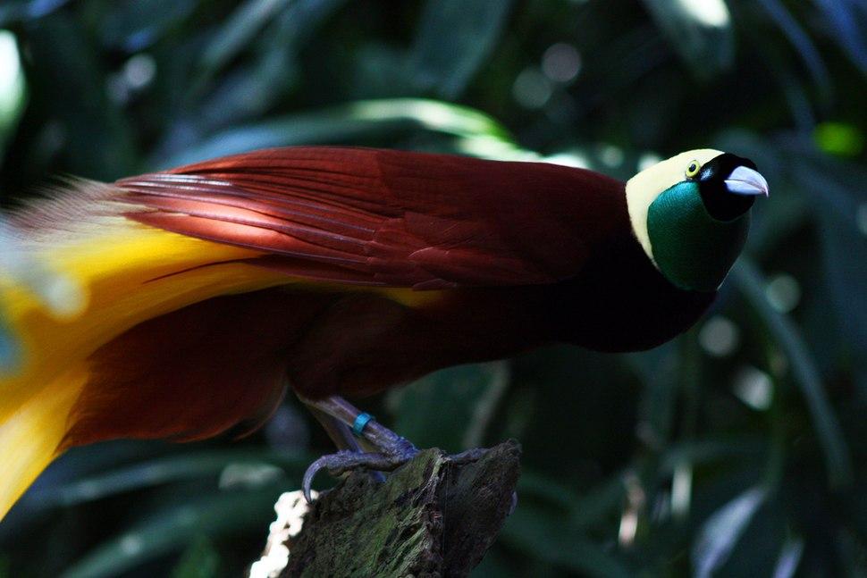 Paradisaea apoda -Bali Bird Park-5