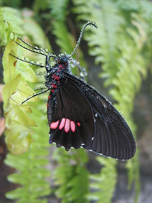 Parides anchises. The picture was taken at Butterfly World. Im curious to know if it is possible to take a featured image without very good camera equipment.