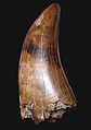 Partial Tyrannosaurus tooth UCMP.JPG