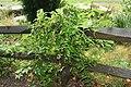 Passiflora incarnata 8zz.jpg