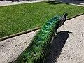 Pavão no Parque Marechal Carmona em Cascais (37283179695).jpg