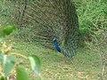 Peacock attaracting female.jpg
