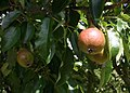 Pears in mid July - geograph.org.uk - 889748.jpg
