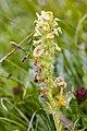 Pedicularis julica 12.jpg