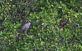 Pedrete corona clara - Nyctanassa violacea 02.jpg