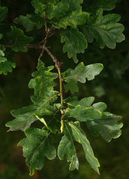 File:Pedunculate oak leaves.jpg
