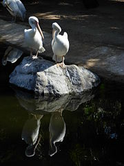 Pelecanidae Loro Parque 02.JPG