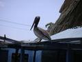 Pelicano01.jpg