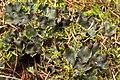 Pelt Lichen (3509745656).jpg
