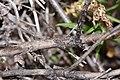 Penstemon fruticosus 4791.JPG