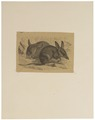 Perameles lagotis - 1700-1880 - Print - Iconographia Zoologica - Special Collections University of Amsterdam - UBA01 IZ20500021.tif