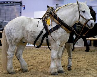 Horse collar - Modern draft horse wearing a horse collar (the horse is not yet fully harnessed.)