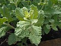 Perovskia atriplicifolia 2017-05-23 1124.jpg