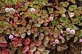 Persicaria capitata Costa Rica.jpg
