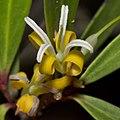 Persoonia silvatica flower.jpg
