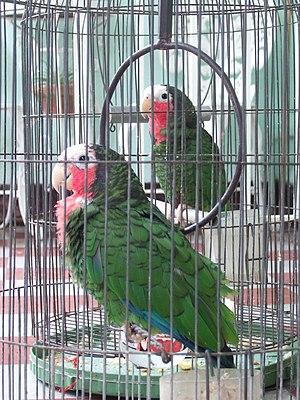 Cuban Parrot (Amazona leucocephala) in Cuba (2...