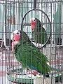 Pet parrots in Cuba.jpg