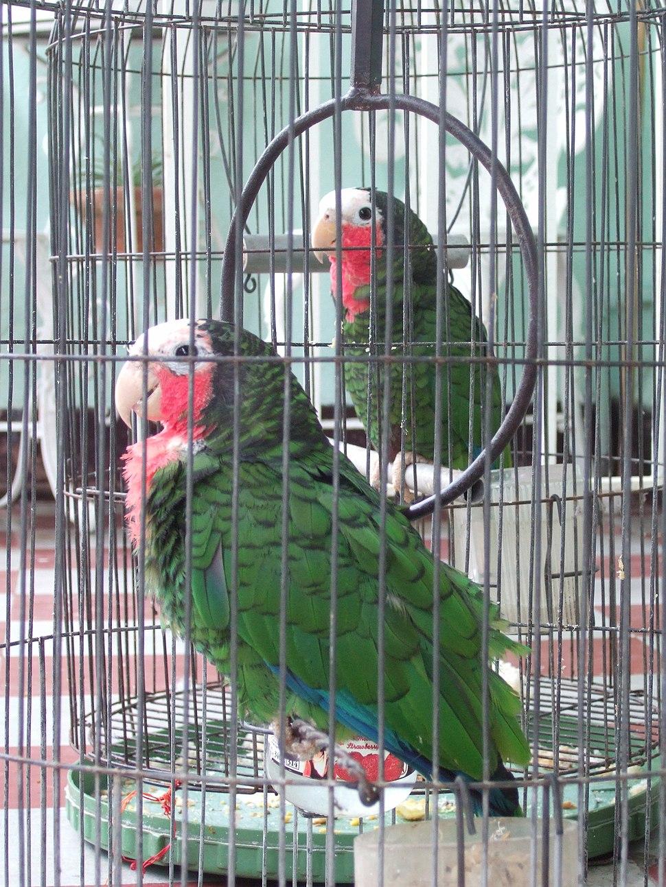 Pet parrots in Cuba