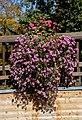 Petunia × hybrida - Karlsruhe.jpg