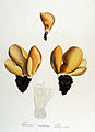 Peziza onotica — Flora Batava — Volume v14.jpg