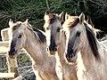 Pferde - panoramio (2).jpg