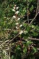 Pflanze des Rundblättrigen Wintergrüns (Pyrola rotundifolia).jpg