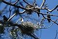 Phalacrocorax auritus and Ardea herodias 2.jpg