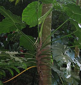 Philodendron giganteum02.jpg