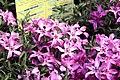 Phlox subulata Crimson Beauty 6zz.jpg