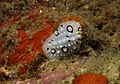 Phyllidia willani Nudibranch by Nick Hobgood.jpg